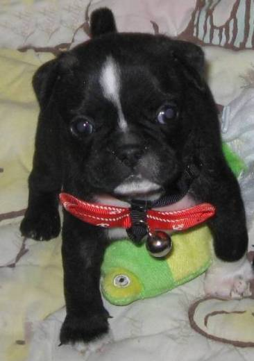 I am a Frug (Frenchie Pug Mix)