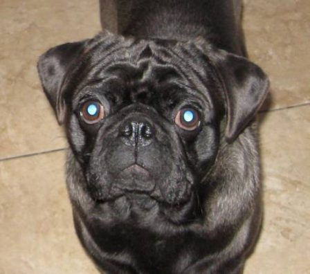 Sterling - Adult Silver Pug | The average dog is a nicer person than the average person.