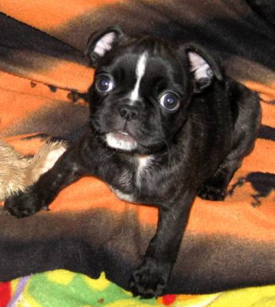 My brindle coat is coming through - Brindle Pug Puppies | A dog is one of the remaining reasons why some people can be persuaded to go for a walk.