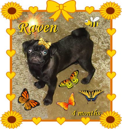 Raven - Black Pug Puppies | Did you ever walk into a room and forget why you walked in? I think that is how dogs spend their lives.