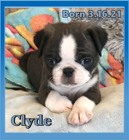 BRP's Beautiful Silver & White Panda - Silver Pug Puppies | Money will buy you a pretty good dog, but it won't buy the wag of his tail.