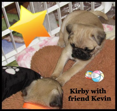 Furever Friends - Fawn Pug Puppies | Even the tiniest dog is lionhearted, ready to do anything to defend home and family.
