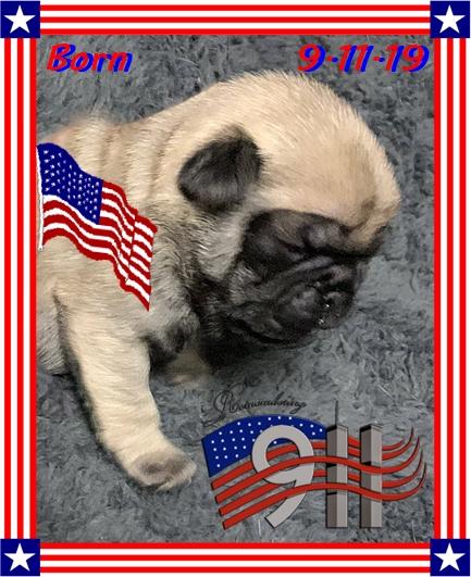 Patriotic Pug Puppy