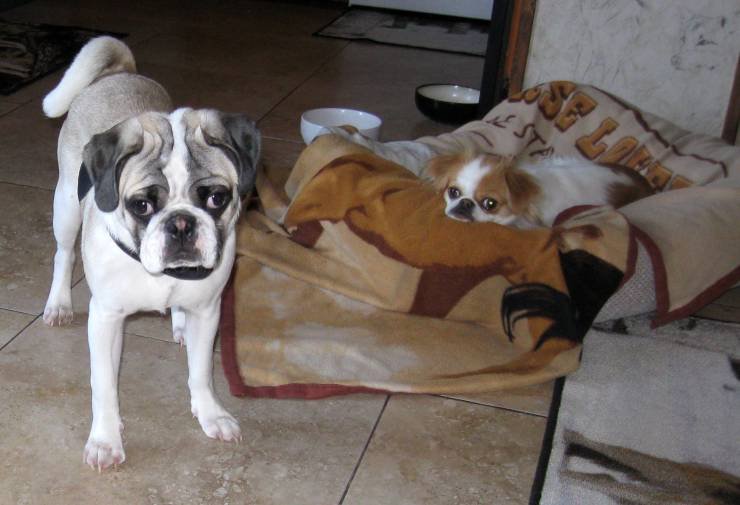 Percy the Pied Pug and Dutchess the Japanese Chin