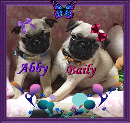 Abby has button ears and Baily has rose ears - Fawn Pug Puppies | The dog was created specially for children. He is the god of frolic.