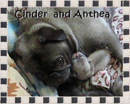 Happy Mother's Day 2019 - Silver Pug - Puppies and Adults | The dog was created specially for children. He is the god of frolic.