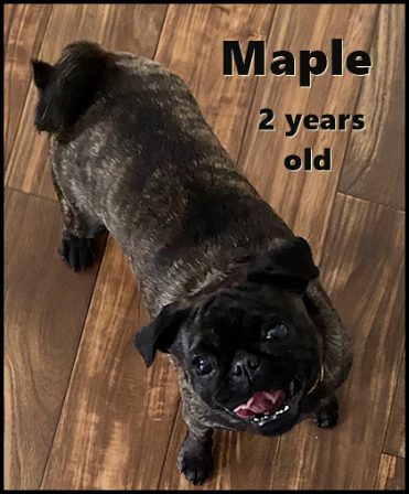 Brandy's baby girl Maple turned two on 3/24/20 - Adult Brindle Pug | My goal in life is to be as good of a person my dog already thinks I am.