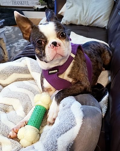 A super picture of April, merle Boston Terrier