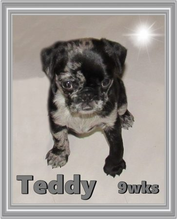 This little guy is BRP's pride and joy - Merle Pug Puppies | Don't accept your dog's admiration as conclusive evidence that you are wonderful.