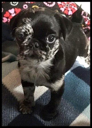 Aragorn/Teddy is going to live with Teresa in New Jersey - Merle Pug Puppies | Once you have had a wonderful dog, a life without one is a life diminished.