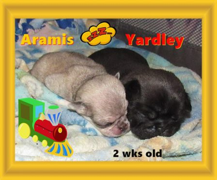 Day and night brothers - Multiple Color Pugs Puppies | Whoever said you can't buy happiness forgot little puppies.