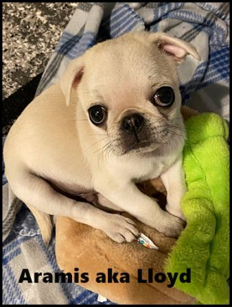 I already know I am cute! - White Pug Puppies | Once you have had a wonderful dog, a life without one is a life diminished.
