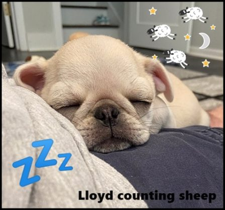 Counting the sheep so I can go to sleep! - White Pug Puppies | A dog can't think that much about what he's doing, he just does what feels right.