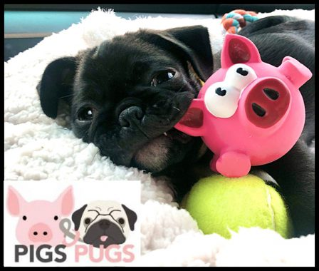 Pugs and pigs have many similarities - Black Pug Puppies | Once you have had a wonderful dog, a life without one is a life diminished.