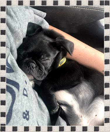 Ashley/Banksy now chillin' with his new mom Adele - Black Pug Puppies | Outside of a dog, a book is man's best friend - inside of a dog it's too dark to read.