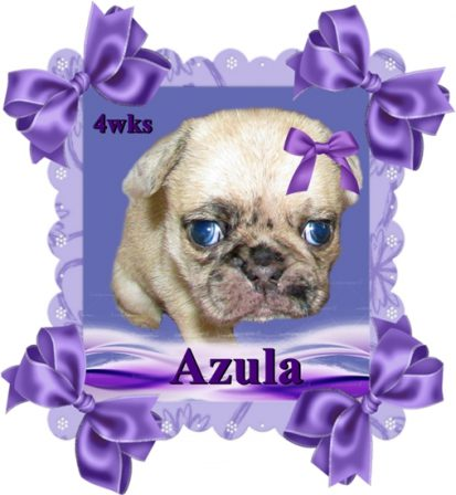 Oh my, oh my, looks like Azula might have blue eyes! - Merle Pug Puppies | Did you ever walk into a room and forget why you walked in? I think that is how dogs spend their lives.