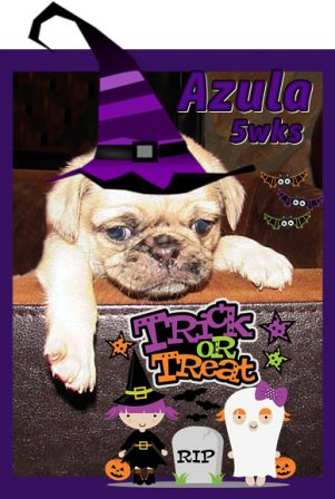 Choco merle Azula says Happy Halloween! - Merle Pug Puppies | I think we are drawn to dogs because they are the uninhibited creatures we might be if we weren't certain we knew better.