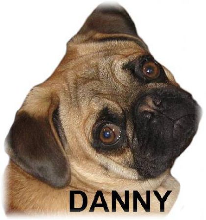 Danny Boy - Adult Apricot Pug | A dog will teach you unconditional love, if you can have that in your life, things won't be too bad.