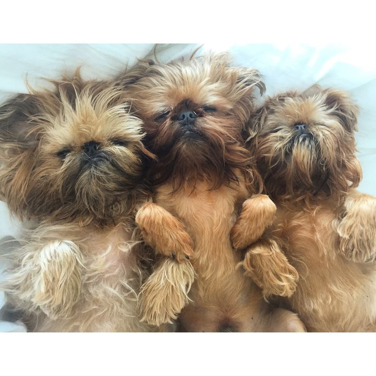 The Brussels Griffon is 1/3 pug…. the 1/3 that likes to eat and sleep!
