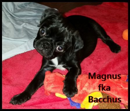 Judith's BRP Bacchus/Magnus in his new home - Black Pug Puppies | Dogs feel very strongly that they should always go with you in the car, in case the need should arise for them to bark violently at nothing, right in your ear.