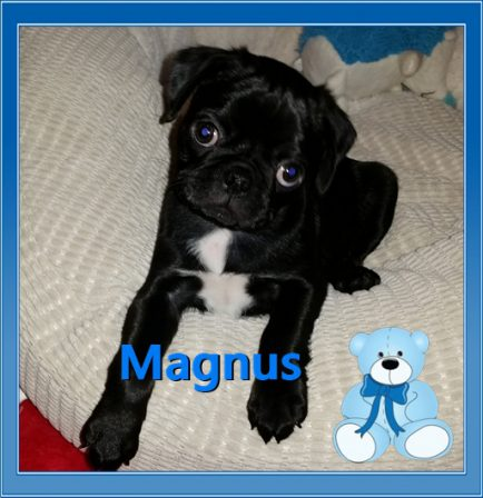 My name is Magnus and I am magnificent! - Black Pug Puppies | Dogs feel very strongly that they should always go with you in the car, in case the need should arise for them to bark violently at nothing, right in your ear.