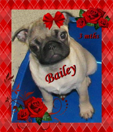 Beautiful Baily - Fawn Pug Puppies | A dog can't think that much about what he's doing, he just does what feels right.