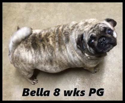 The countdown is on and I can't wait! - Adult Brindle Pug | Dogs love their friends and bite their enemies, quite unlike people, who are incapable of pure love and always mix love and hate.