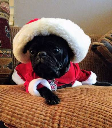 Angie's Bella - Who goes there - is it Santa? - Adult Black Pug | No Matter how little money and how few possessions you own, having a dog makes you rich.
