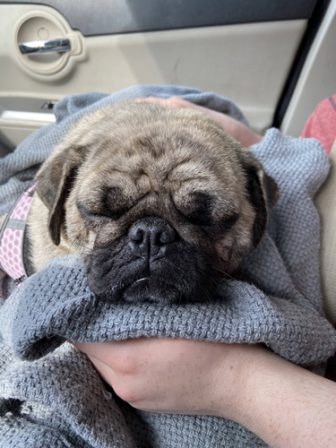 Bella resting in the car on the way to her new home - Adult Brindle Pug | If you pick up a starving dog and make him prosperous he will not bite you. This is the principal difference between a dog and man.