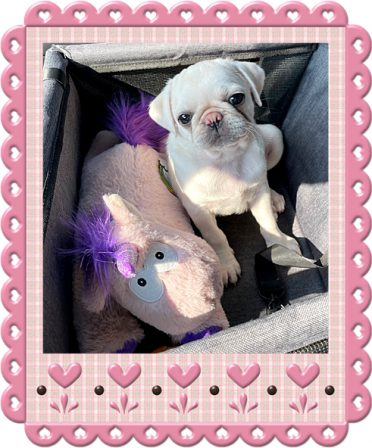 Me and my unicorn taking a ride in the car - White Pug Puppies | Once you have had a wonderful dog, a life without one is a life diminished.