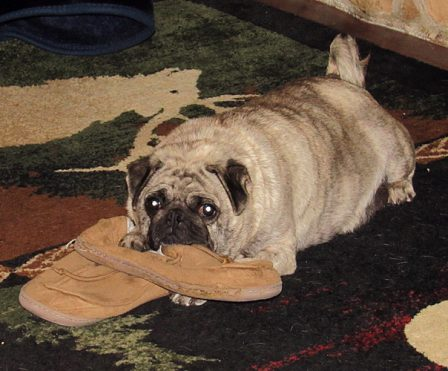 Bella collects slippers to lay on - Adult Brindle Pug | The dog is a gentleman; I hope to go to his heaven not man's.