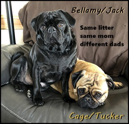 Each one is the spitting image of his dad! - Adult Multiple Color Pugs | I've seen a look in dogs' eyes, a quickly vanishing look of amazed contempt, and I am convinced that basically dogs think humans are nuts.