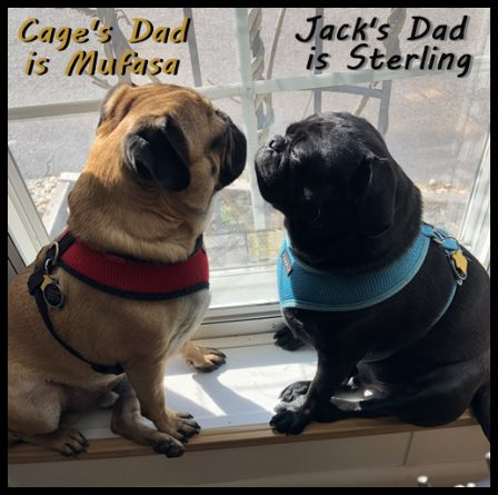 The boys are celebrating their 2nd birthday! - Adult Multiple Color Pugs | Outside of a dog, a book is man's best friend - inside of a dog it's too dark to read.