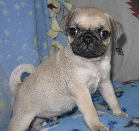 My name is Bo Jackson - Fawn Pug Puppies | Even the tiniest dog is lionhearted, ready to do anything to defend home and family.