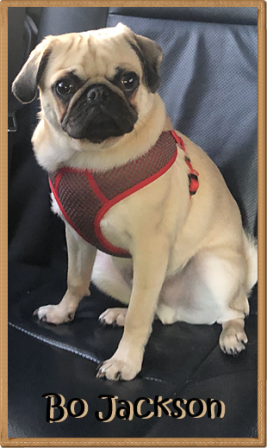 I'm too handsome for my harness! - Fawn Pug Puppies | Did you ever walk into a room and forget why you walked in? I think that is how dogs spend their lives.