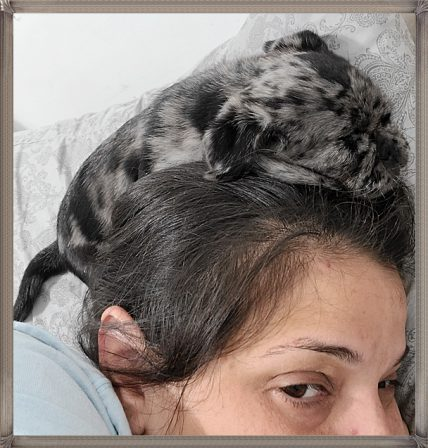 Does YOUR pug puppy keep your head warm at night? - Merle Pug Puppies | The one absolutely unselfish friend that man can have in this selfish world, the one that never deserts him, the one that never proves ungrateful or treacherous, is his dog.