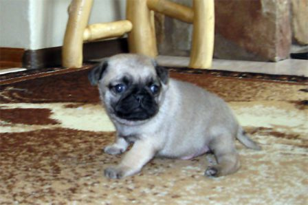 Yikes! Everything is bigger than me! - Fawn Pug Puppies | A dog can't think that much about what he's doing, he just does what feels right.