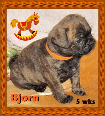 April & Mu's bugg puppy Bjorn - Brindle Pug Puppies | Don't accept your dog's admiration as conclusive evidence that you are wonderful.