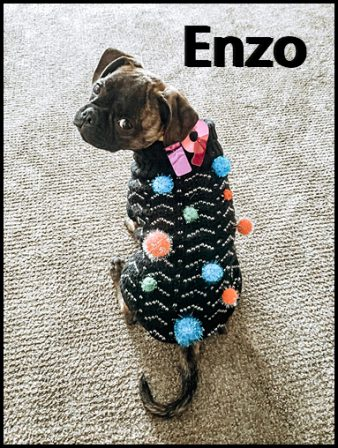 My name is not COVID, it is Enzo and I like pompoms! - Brindle Pug Puppies | Dogs love their friends and bite their enemies, quite unlike people, who are incapable of pure love and always mix love and hate.