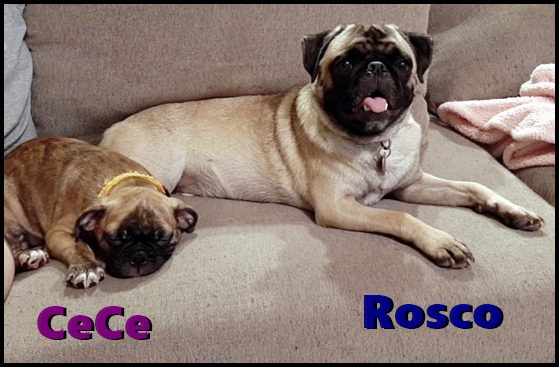 Rosco, pug, with new friend CeCe, bugg