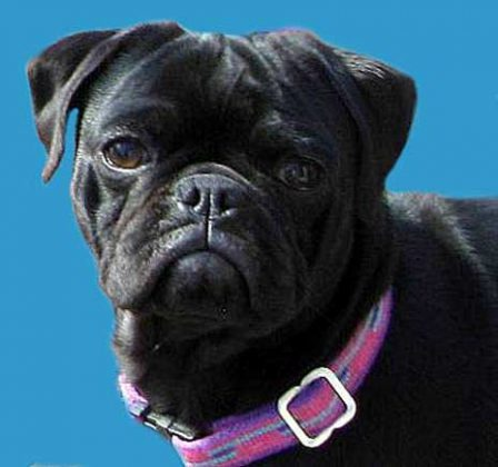 Bond. James Bond. - Adult Black Pug | Whoever said you can't buy happiness forgot little puppies.