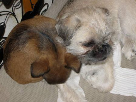 Brussels Griffon and Pug-a-Poo - Multiple Color Pugs Puppies | Whoever said you can't buy happiness forgot little puppies.