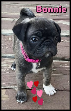 Cannot have a Clyde without a Bonnie - Silver Pug Puppies | The dog was created specially for children. He is the god of frolic.