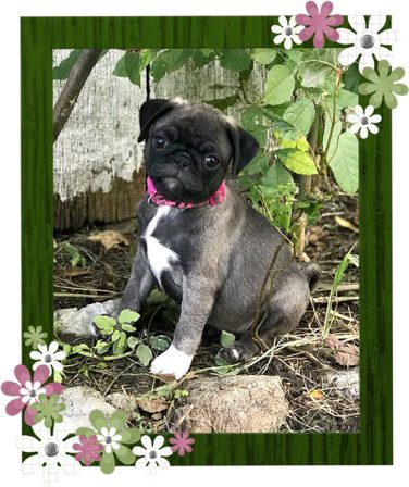 BRP is excited to be adding Bonnie to their breeding program - Silver Pug Puppies | Did you ever walk into a room and forget why you walked in? I think that is how dogs spend their lives.