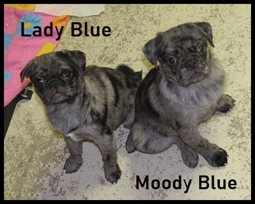 Yes, there are blue merle pugs!