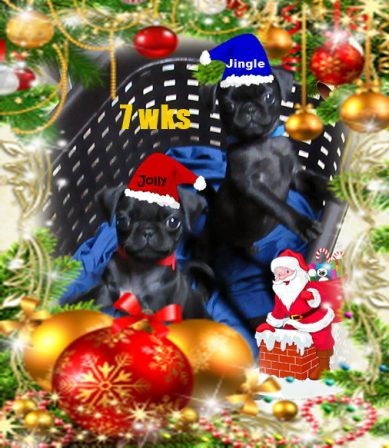 Jolly & Jingle - Black Pug Puppies | If I have any beliefs about immortality, it is that certain dogs I have known will go to heaven, and very, very few persons.