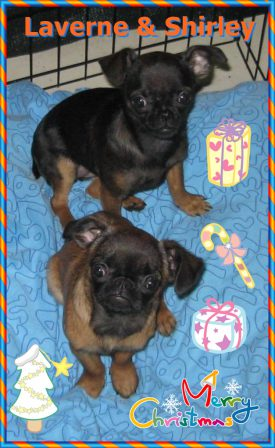 Petit Brabancons aka Smooth Coat Brussels Griffon - Multiple Color Pugs Puppies | If I have any beliefs about immortality, it is that certain dogs I have known will go to heaven, and very, very few persons.
