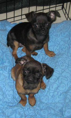 Petit Branbancon (aka smooth coat Brussels Griffon) - Multiple Color Pugs Puppies | The dog has got more fun out of man than man has got out of the dog, for man is the more laughable of the two animals.