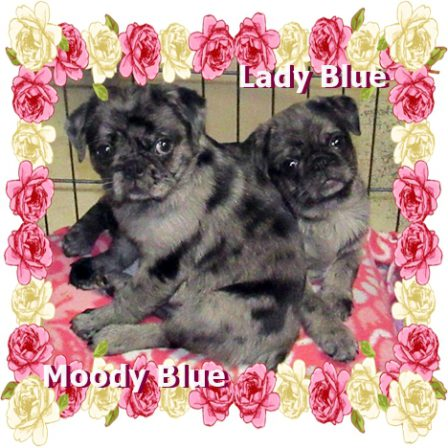 Beautiful blue merle pug puppies - Merle Pug Puppies | Once you have had a wonderful dog, a life without one is a life diminished.