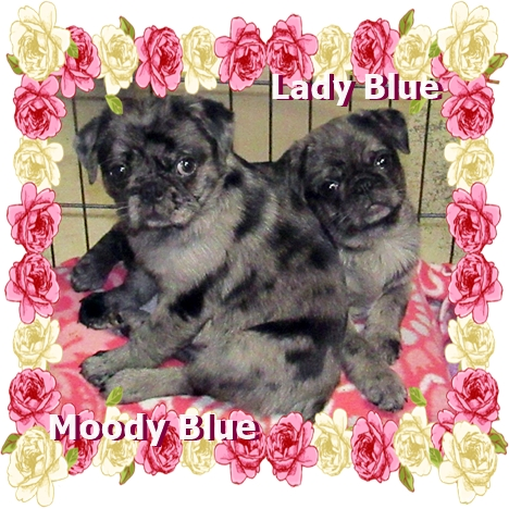 Beautiful blue merle pug puppies